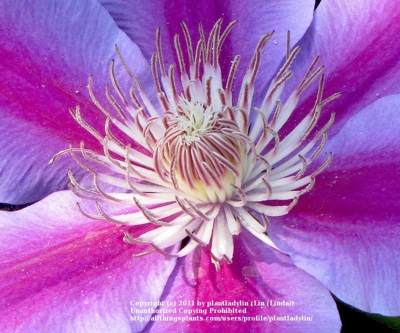 Photo of Clematis 'Nelly Moser' uploaded by plantladylin