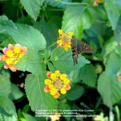 Date: Summer 2011Long-tailed Skipper enjoying nectar