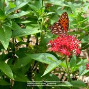 Date: Summer 2011Gulf Fritillary Butterfly enjoying nectar #Pollination