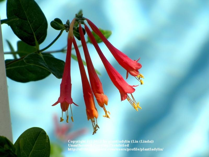 Photo of Coral Honeysuckle (Lonicera sempervirens) uploaded by plantladylin