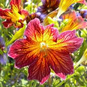 Location: NE WashingtonDate: August 28, 2011Another shade of Salpiglossis sinuata