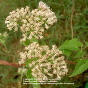 Location: Nederland, Jefferson County, TexasDate: September 29, 2009Cimbing Hempvine