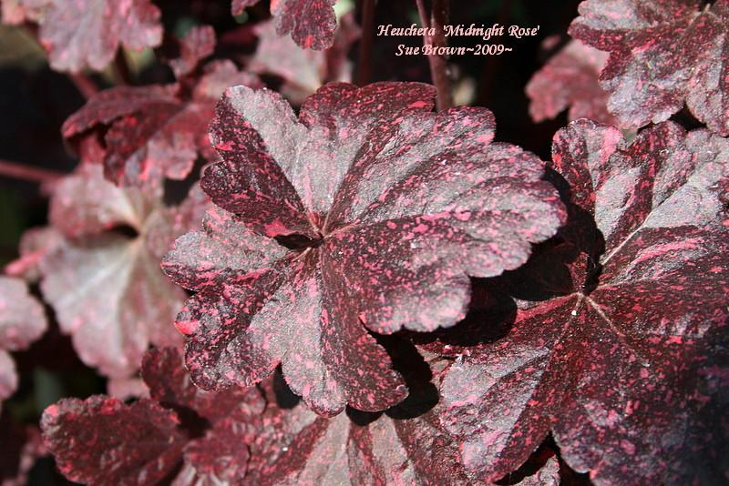 Photo of Coral Bells (Heuchera 'Midnight Rose') uploaded by Calif_Sue