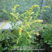 Location: Middle TennesseeDate: 6/14/2011'Fireworks' Goldenrod