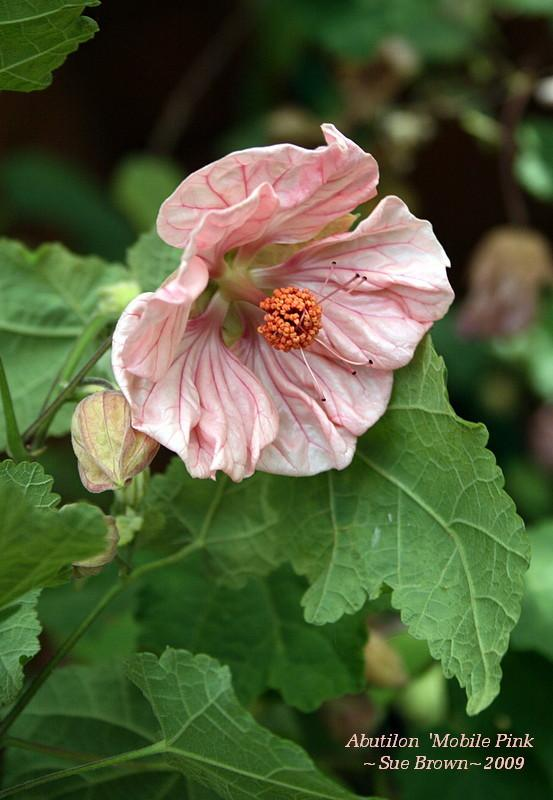 Photo of the bloom of flowering maple abutilon mobile pink photo of flowering maple abutilon mobile pink uploaded by califsue mightylinksfo