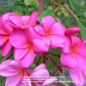 Location: Southwest FloridaDate: summer 2009Charlotte Ebert is also known as 'Giant Pink' aptly des
