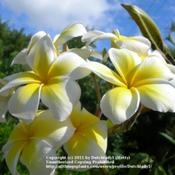 Location: Southwest FloridaDate: summer 2009Celadine is the plumeria most commonly used for Leis in Hawai'i b