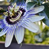 Location: London/Kent border, England, UK.Date: 14/09/2011Blue Passion flower