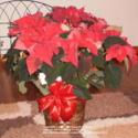 The History of the Poinsettia