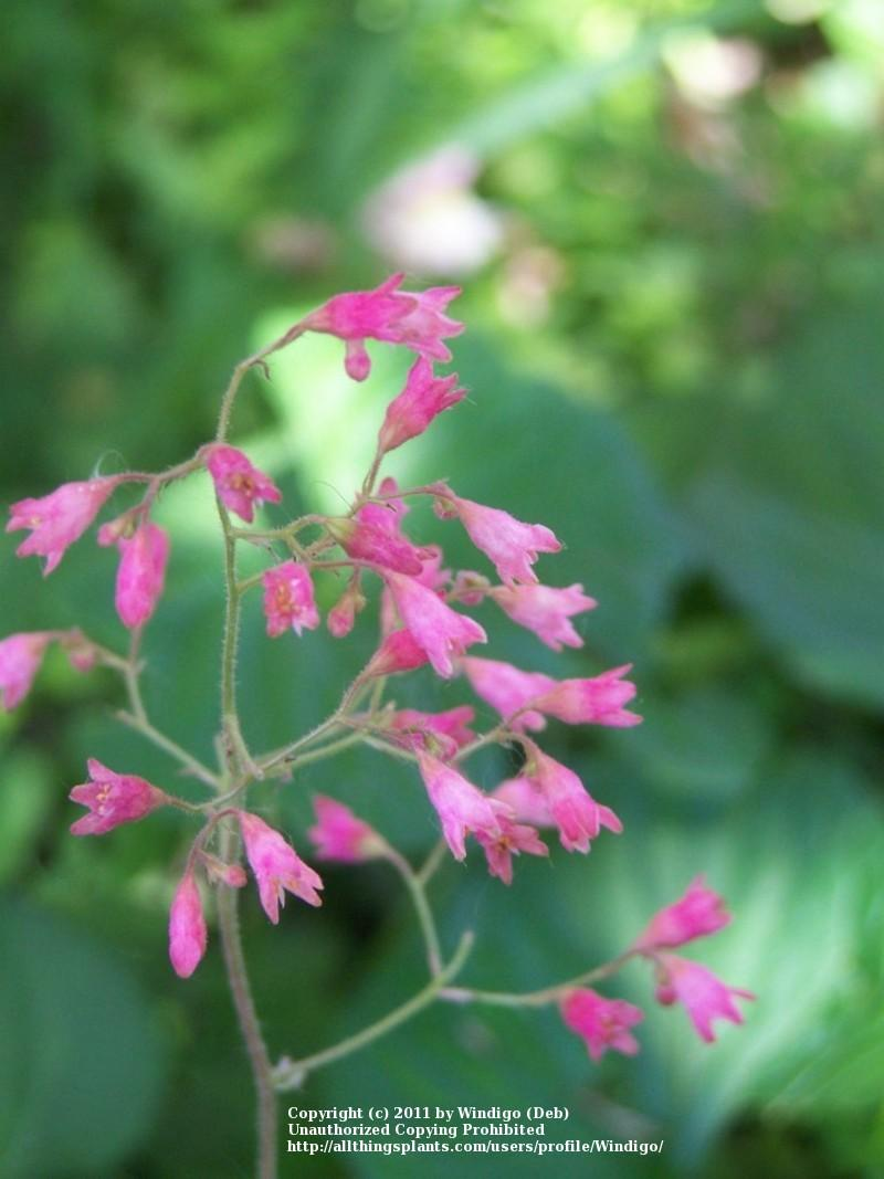 Coral Bells Plant Care And Collection Of Varieties Garden