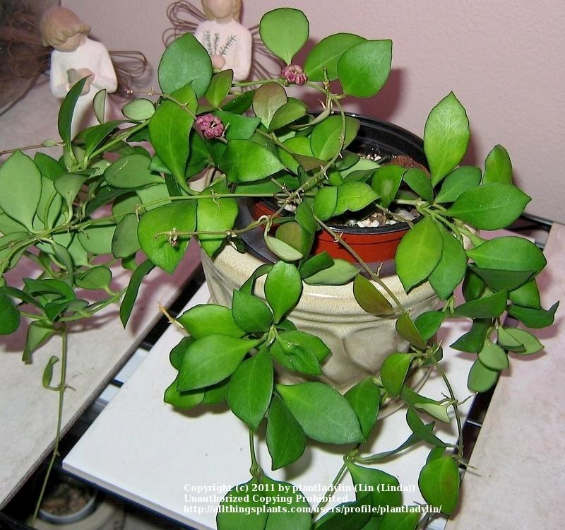 Photo of Wax Plant (Hoya heuschkeliana) uploaded by plantladylin