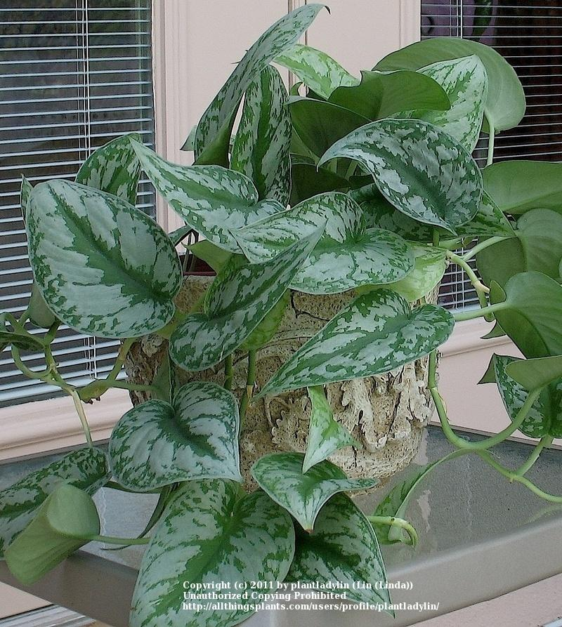 Photo of the entire plant of silver philodendron for Talea edera
