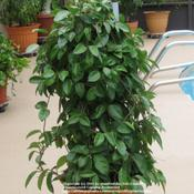 Date: June 21, 2011This plant has reverted to the solid green form of H. carnosa.