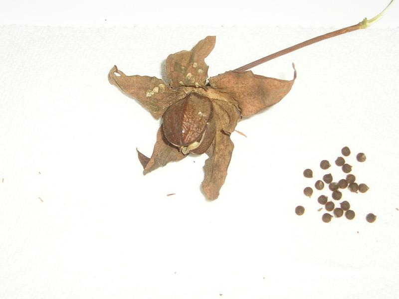 Photo Of The Seeds Of White Texas Star Hibiscus Hibiscus Coccineus