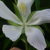Location: My water garden, Northeast FloridaDate: Spring, early sumerWhite Texas Star