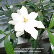 Location: JBsPlants NJDate: 2010G. Jasminoides 'Frostproof'