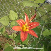 Location: Middle TennesseeDate: 6/13/2011Bloom and spent bloom (behind)