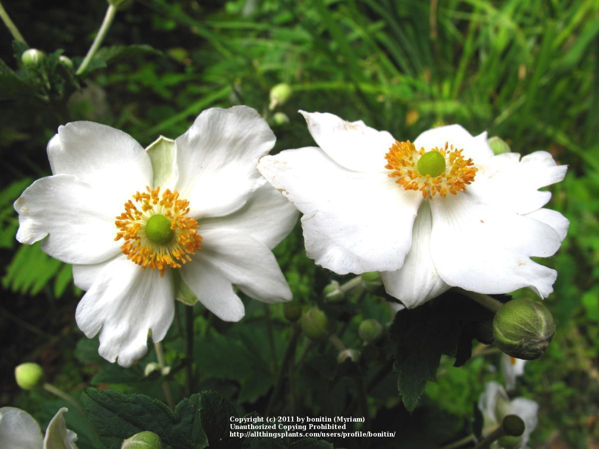 photo of the bloom of japanese anemone anemone 39 whirlwind. Black Bedroom Furniture Sets. Home Design Ideas