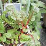 Location: Middle TennesseeDate: 9/19/2011'Bright Lights' chard growing in a shallow pan