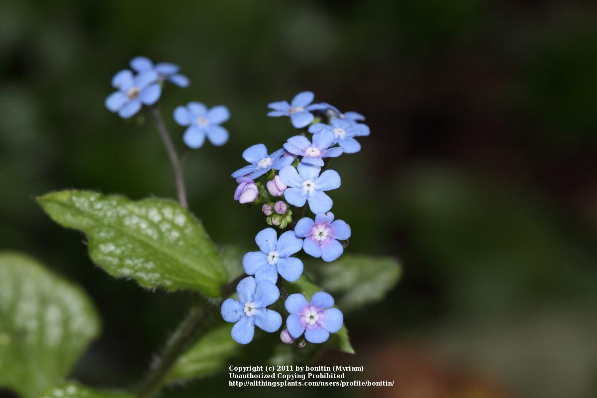 Photo of Brunnera (Brunnera macrophylla 'Jack Frost') uploaded by bonitin