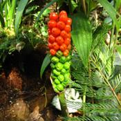 Location: my garden, Gent, BelgiumDate: 10th August 2009green berries turning red..