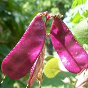 Location: western KentuckyDate: Fall 2010Hyacinth Bean seedpod