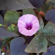 Location: Western KentuckyDate: Summer 2010Sweet potato vine