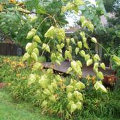 Location: Western KentuckyDate: Late summer 2011Young seed pods on Golden Rain Tree