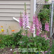Location: Cincinnati, OhDate: May 2009Strawberry foxglove with poppy