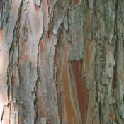 Location: Western KentuckyDate: Summer 2010Notice the red layer beneath the outer bark