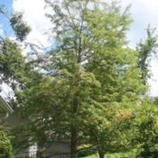 Location: Western KentuckyDate: Summer 2010A 20 year old bald cypress