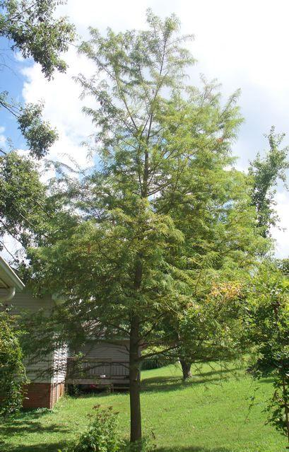 Photo of Bald Cypress (Taxodium distichum) uploaded by Sharon