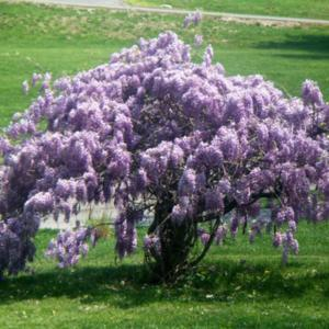 Kentucky Wisteria in spring