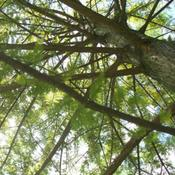 Location: Western KentuckyDate: Summer 2010Branching