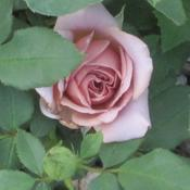 Location: Denver Metro, ColoradoDate: 7/6/2011Koko Loko - Bare Root from Edmunds Roses planted 2011