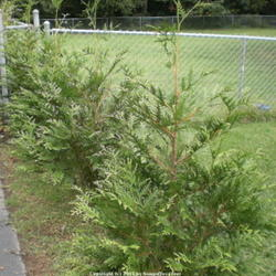 Bagworms and the Damage They Can Cause - Garden org