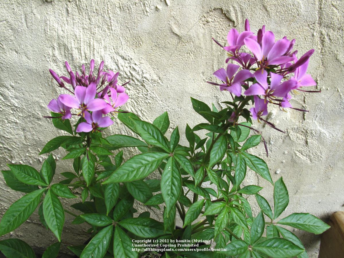 of the entire plant of Spider Flower Cleome