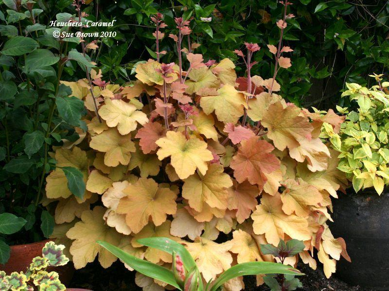 Photo of Coral Bells (Heuchera villosa 'Caramel') uploaded by Calif_Sue