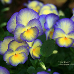 February's Flower: Violas (Violets and Pansies)