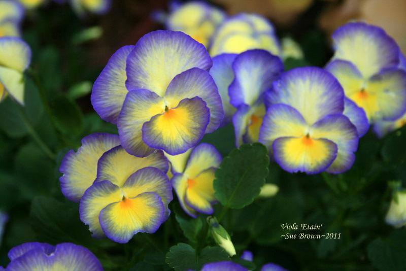 February S Flower Violas Violets And Pansies Garden Org
