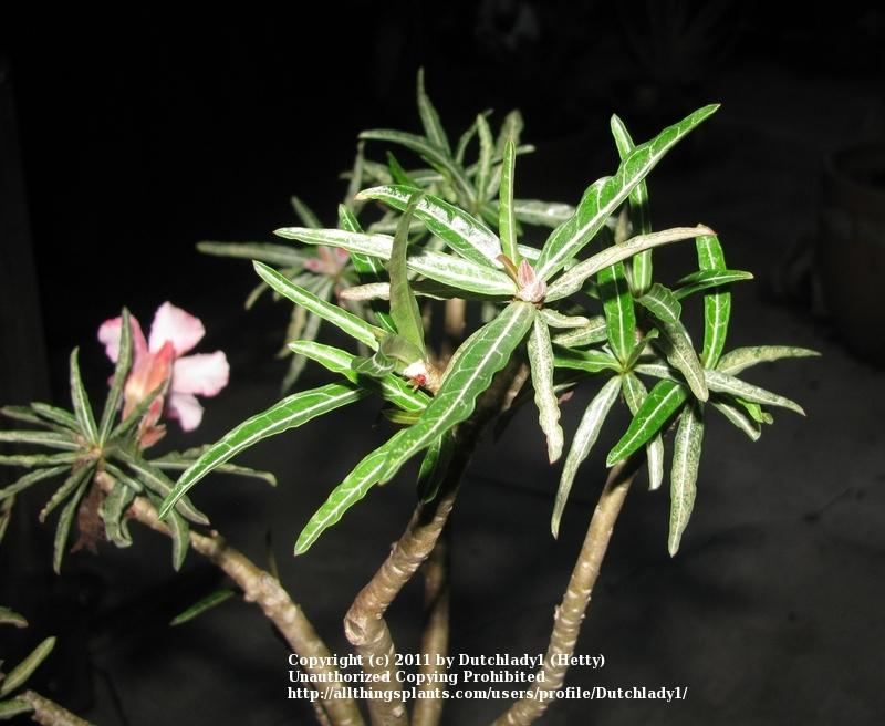 Photo Of The Leaves Of Desert Rose Adenium Obesum Posted By