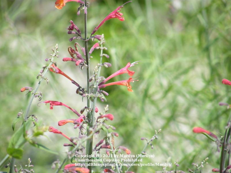 Photo of Red Hummingbird Mint (Agastache aurantiaca Coronado® Red) uploaded by Marilyn