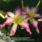 Location: My garden in Northern KYDate: July 13, 2011 in the eveningLove this gorgeous Daylily!