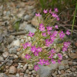 Plant id forum a short pink wildflower in the texas hill country image mightylinksfo