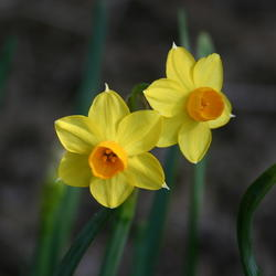 The top 50 most popular spring blooming bulbs garden image mightylinksfo