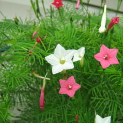 The all things plants most popular vines and climbers garden cypress vine ipomoea quamoclit posted by gardengus mightylinksfo