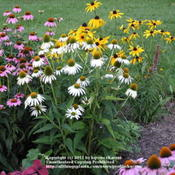 Location: Cincinnati, OhDate: July 2011White Swan with purple coneflower and rudbeckia