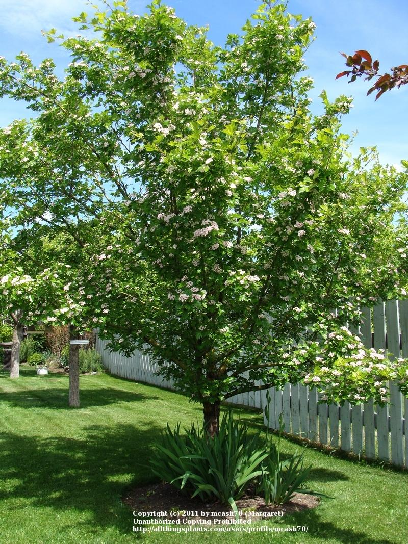 Photo of Toba Hawthorn (Crataegus x mordenensis 'Toba') uploaded by mcash70