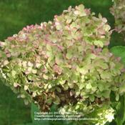 Location: Lincolnshire, England, UKDate: 22 September 2011Limelight- Moving into Autumn the blooms tinge with pink