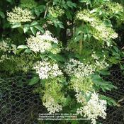 Location: Linconshire, England, UKDate: MayBranch of Elderberry bush in full bloom
